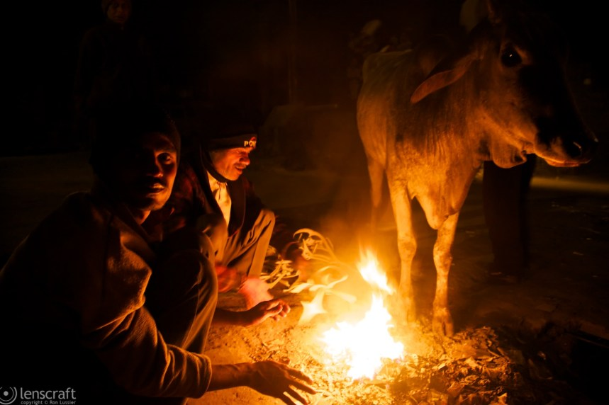 the warmed cow / agra, india