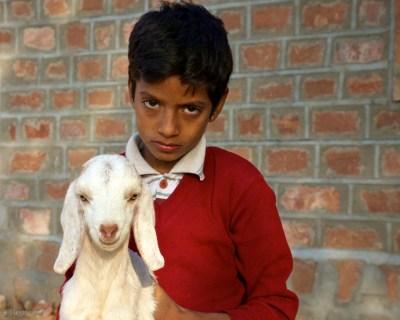 two lambs / ghewara, india