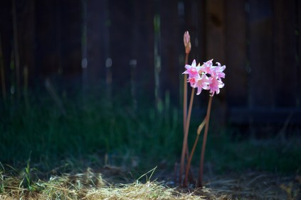 naked ladies in the hay / sonoma, california
