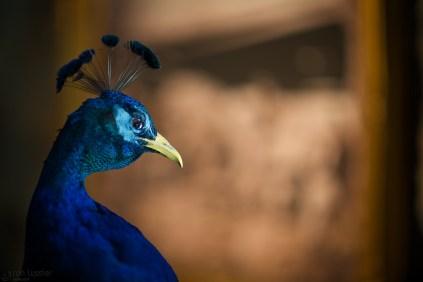 the peacock / sonoma, california