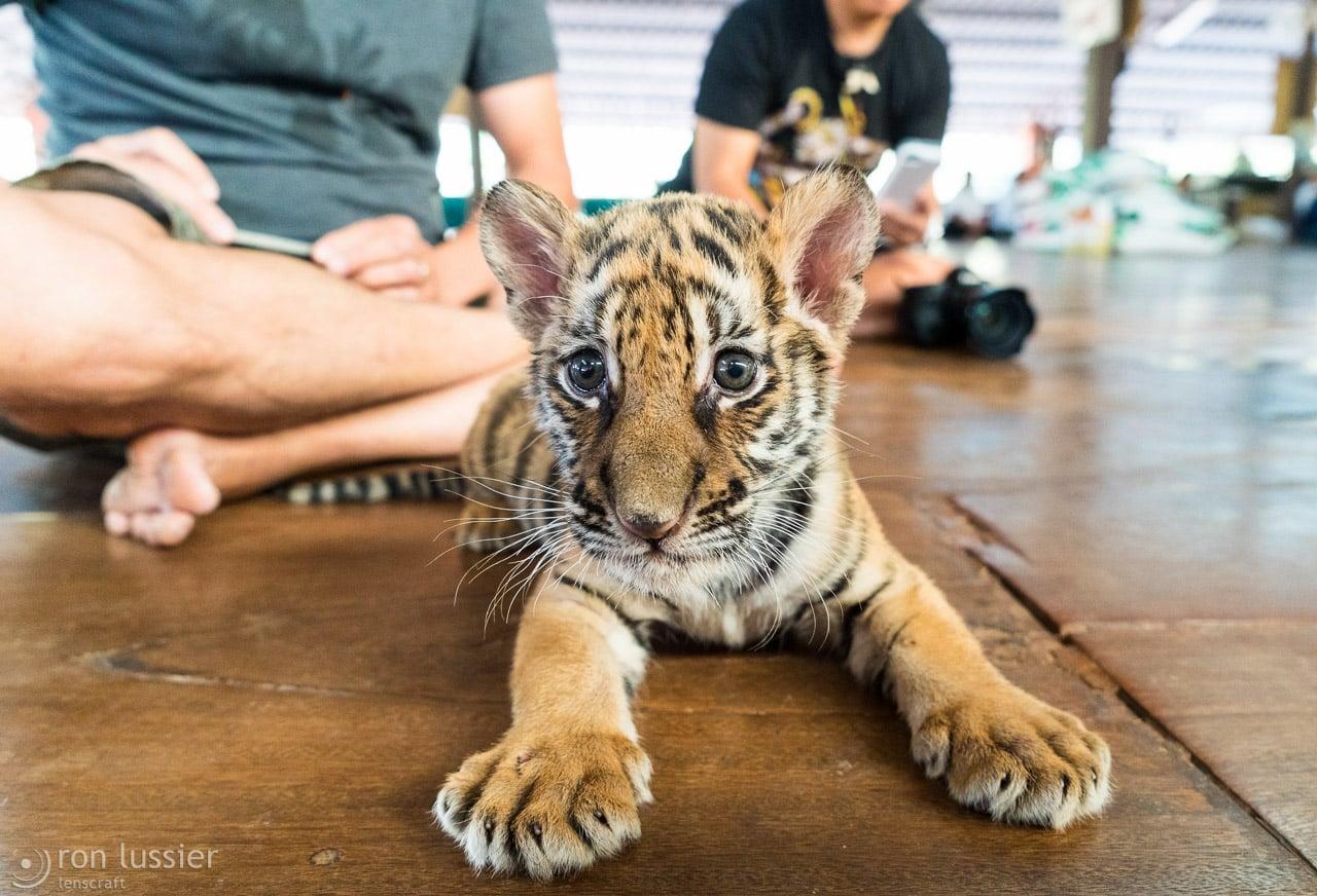 kitten /  / wat pha luang ta bua, thailand