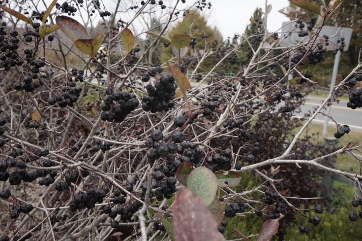 aronia-black-chokeberry-oct-26-183