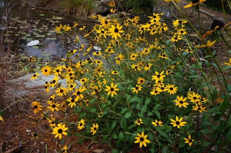 rudbeckia-oct-26-079