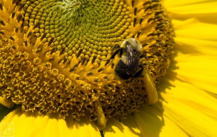 sunflowers-29_19672412528_o