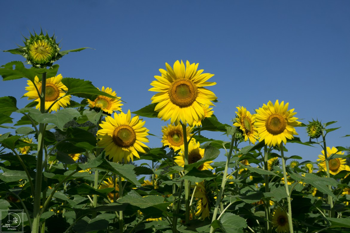 sunflowers-36_19672410068_o