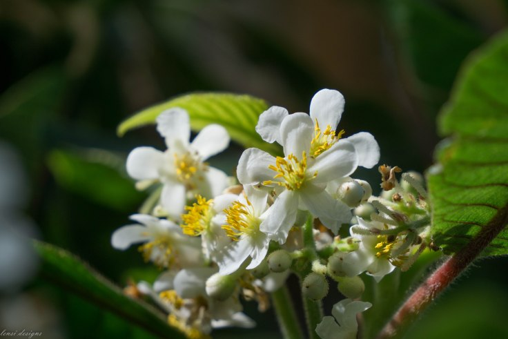 saurauia-madrensis-tropical-america_16698158405_o
