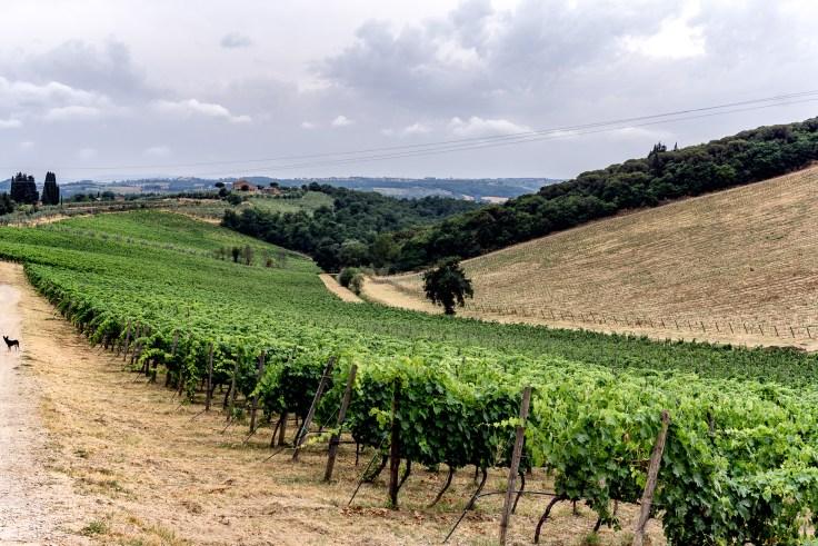 vineyard2-1