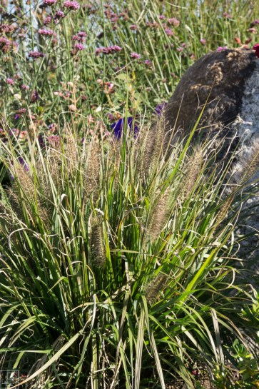 Grasses-11