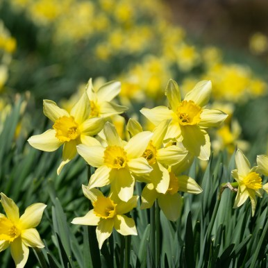 Daffodils as far as the eye can see!