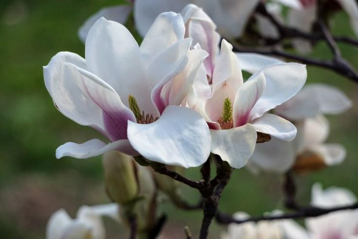 Magnolia NYBG