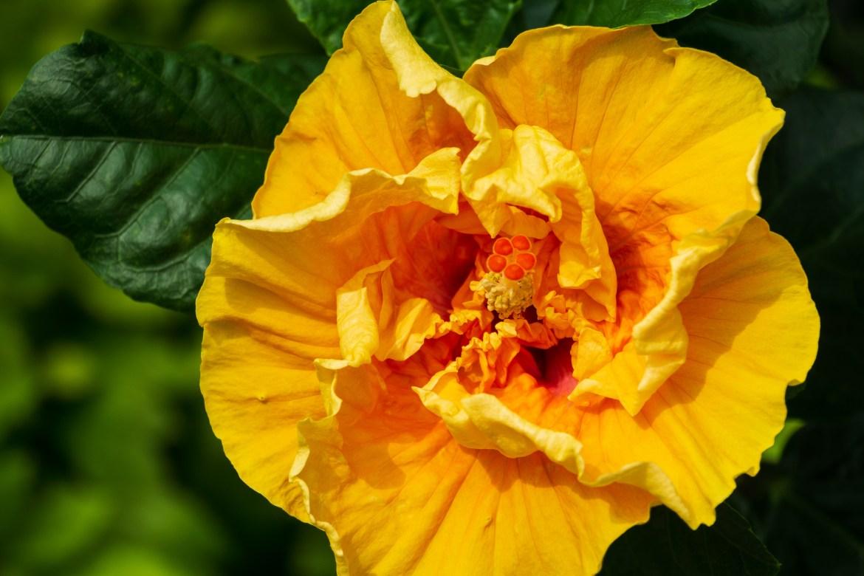 Hibiscus-1-2