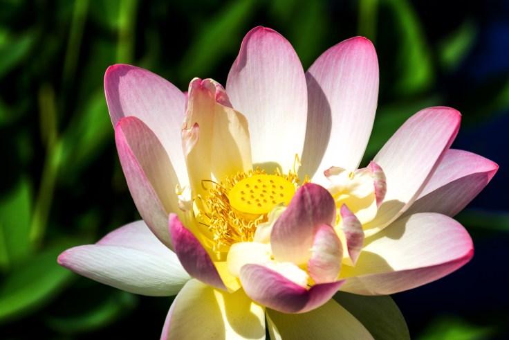 Pink lotus-1