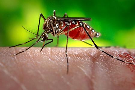 Nyamuk Mutan untuk Perangi Malaria