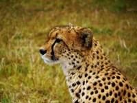 Cheetah at Masai Mara, Kenya. Shot taken Safari trip.