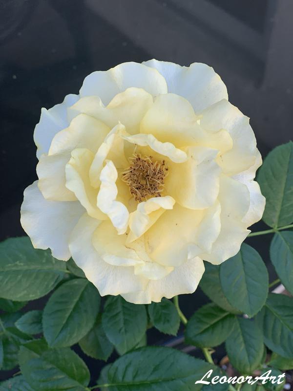 Yellow Doris Day Rose Leo Art Creations
