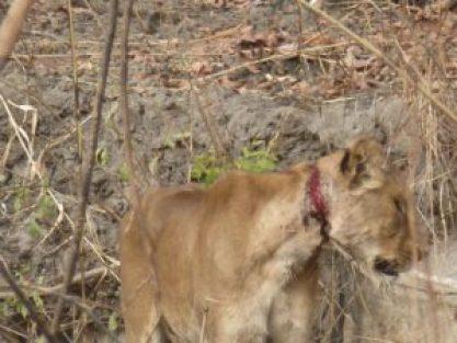 Een leeuwin met diepe wonden in haar nek, die veroorzaakt zijn door een stropersstrik.