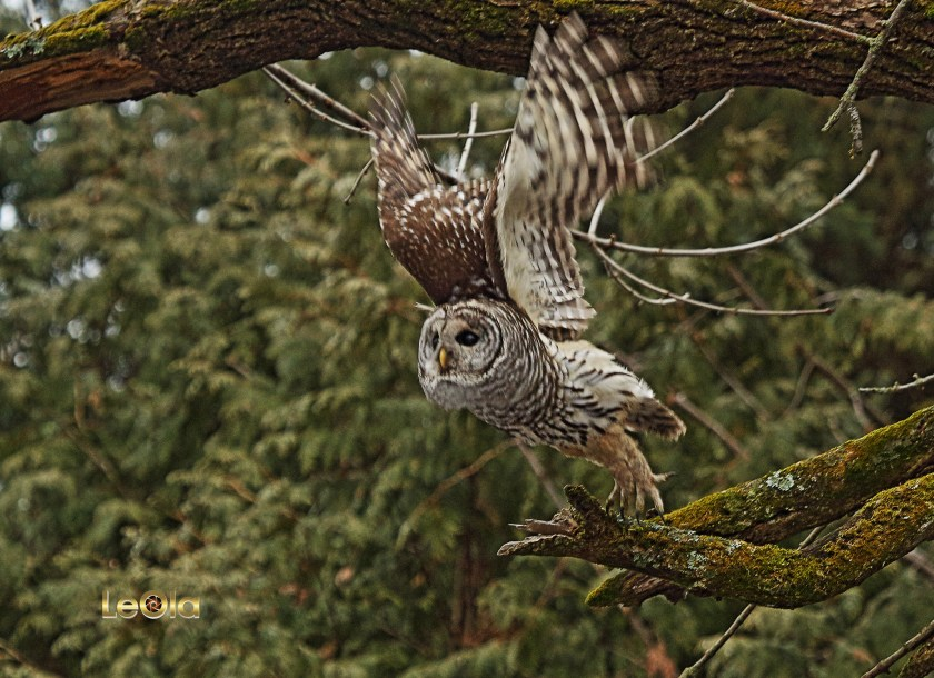 img_3859-barred-owl-a-copy