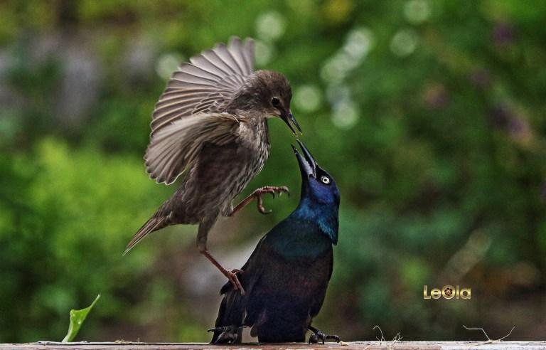 img_6751-baby-starling-gracklea-copy