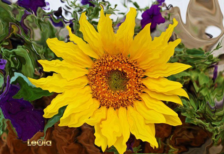 IMG_8866 Sunflowera