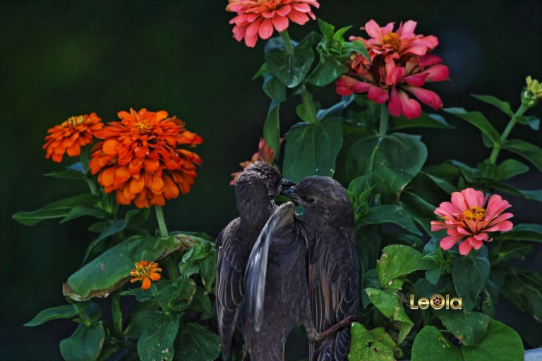 img_9214-starling-zinnias-copy