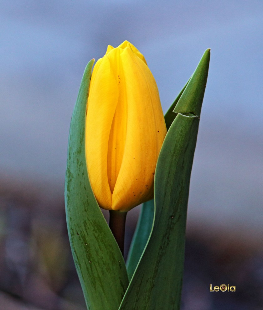 IMG_0202 Tulip copy.jpg