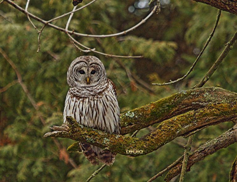 IMG_3832 Barred Owl copy.jpg