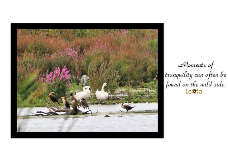 Swan a copy
