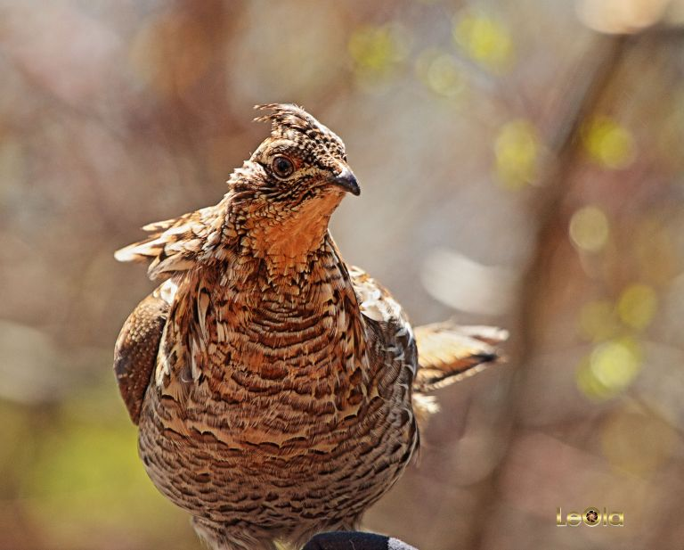 IMG_1638 Ruffed Grouse copy