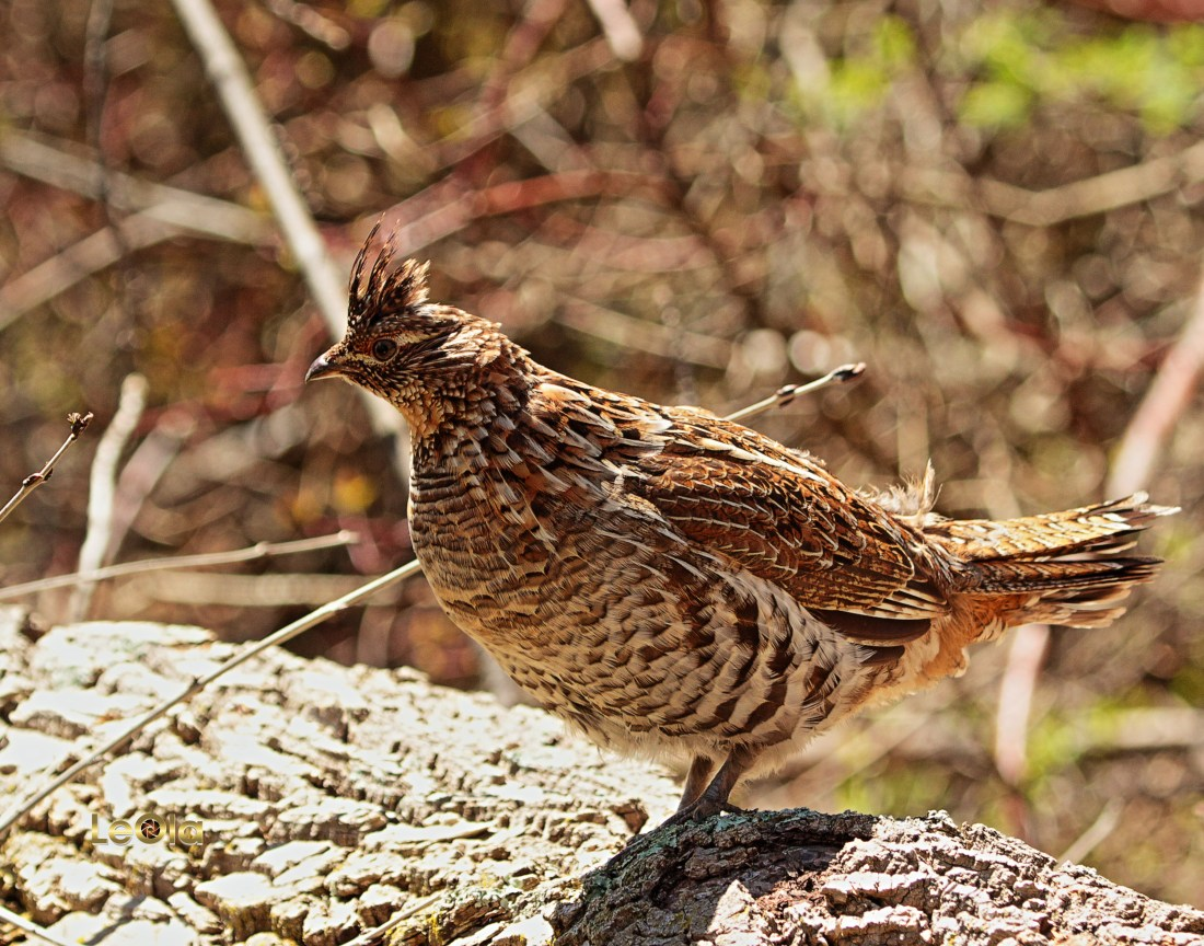 IMG_1646 Ruffed Grouse copy