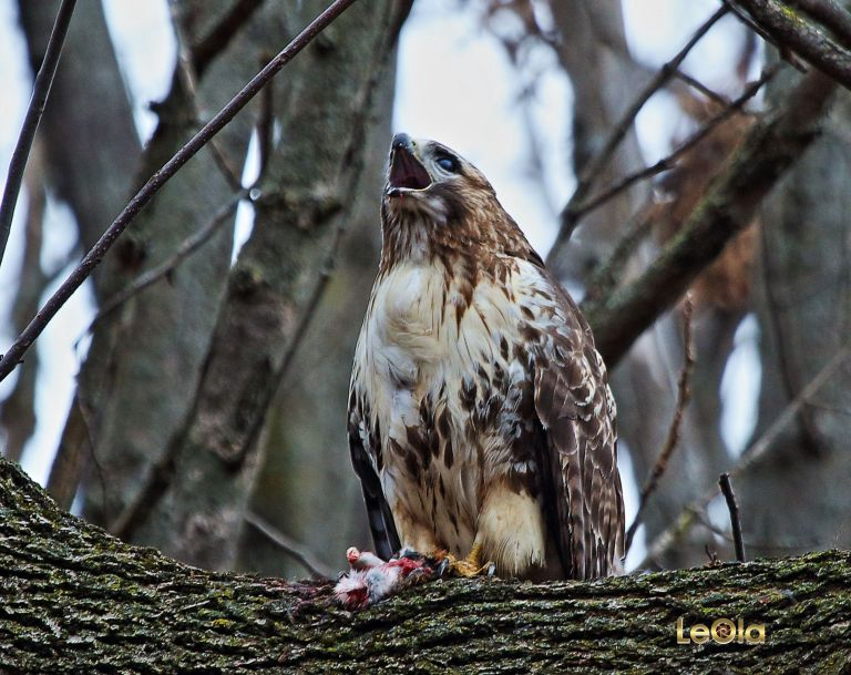 IMG_4743 Red Tail Hawk 7x5 copy
