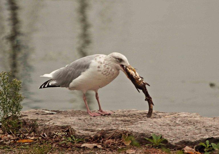 IMG_1900 Seagull & Fish copy
