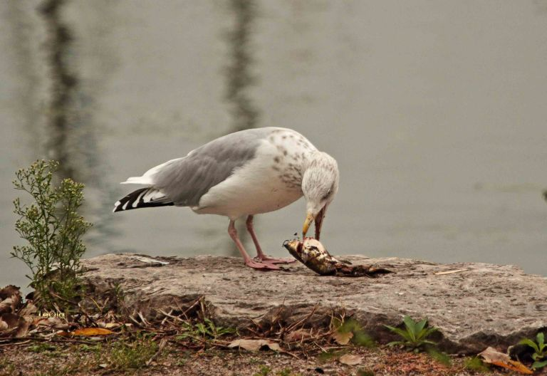 IMG_1902 Seagull & Fish copy