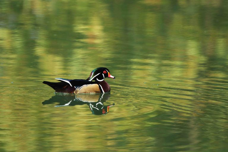 IMG_2403 Wood Duck copy