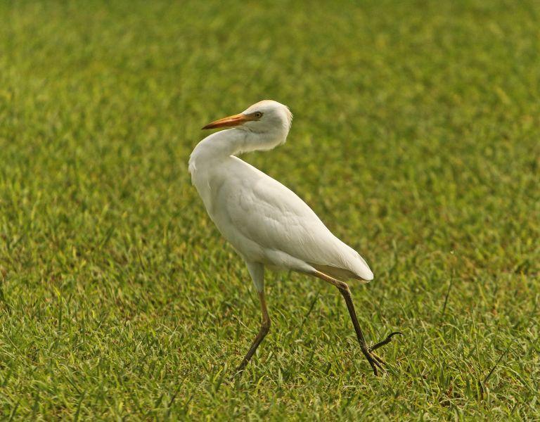 IMG_0534 Egret