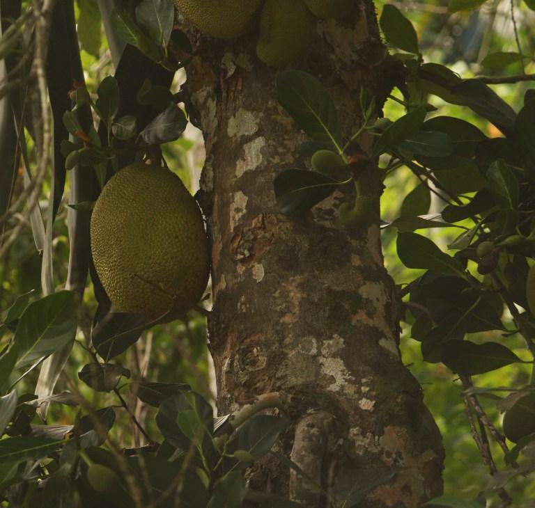 IMG_1131 Jack Fruit