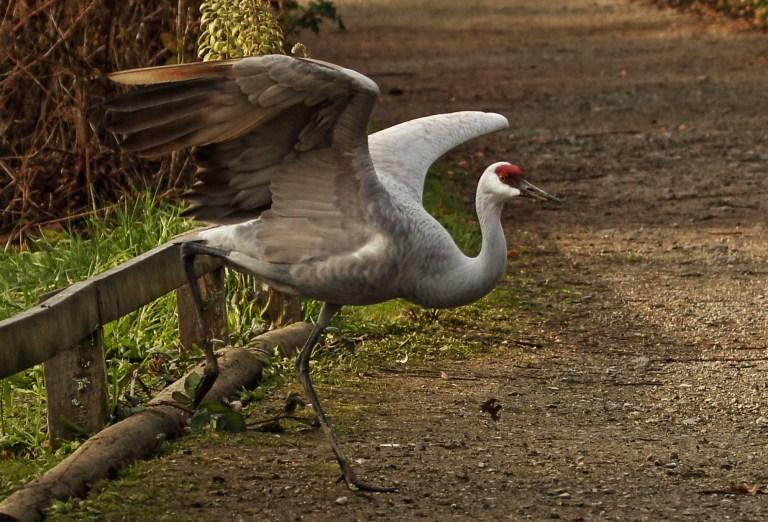 IMG_2054 Sandhill Crane