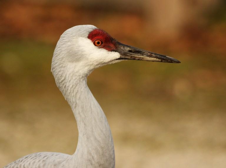 IMG_2067 Sandhill Cranea