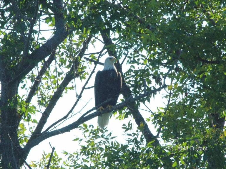 IMG_8225a birthday eagle copy