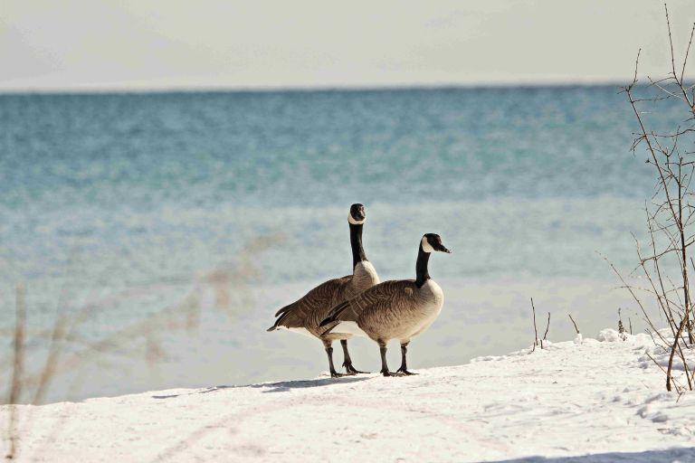 R Canada Geese.JPG