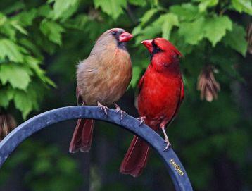 Cardinalss #1
