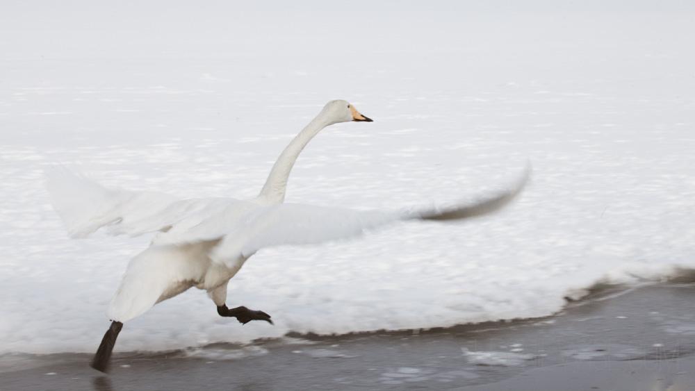Whooper Swan - copyright Leonie Wise