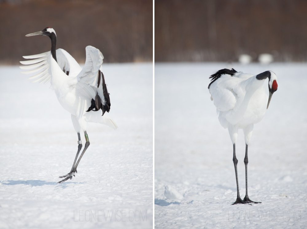 red-crowned cranes, akan crane centre, hokkaido, japan. copyright leonie wise - all rights reserved