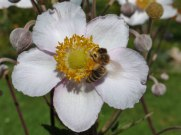 Blume – Biene 4