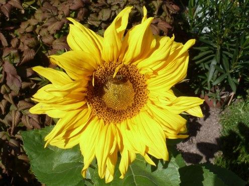 Sonnenblume 11