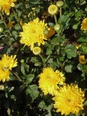 Chrysanthemen 12