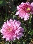 Chrysanthemen 15