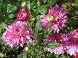 Chrysanthemen 2