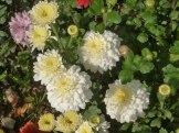 Chrysanthemen 3