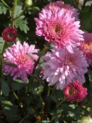Chrysanthemen 7
