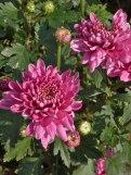 Chrysanthemen 9